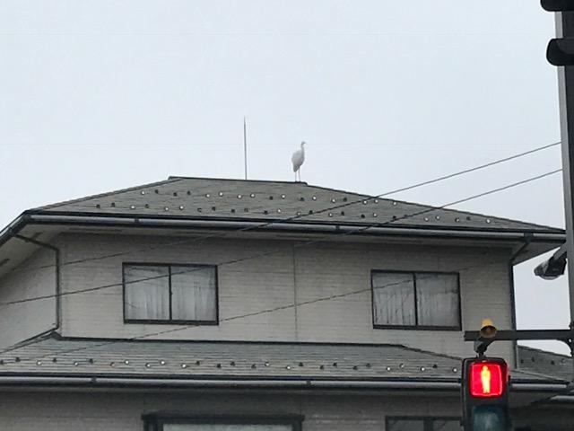 富山市 トンビと白鷺